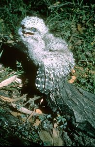 Tawny Frogmouth, juvenile