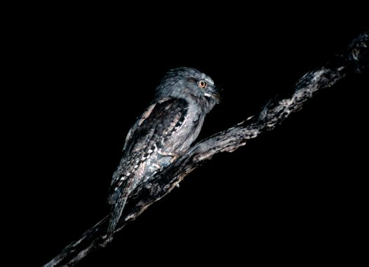 Tawny Frogmouth at night