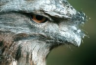 Tawny Frogmouth, head close-up