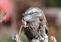 Tawny Frogmouth with prey