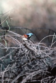 Variegated Fairy-wren, perched