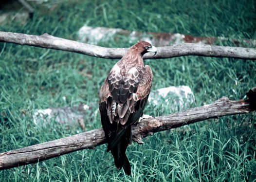 Wedge-tailed Eagle, back view
