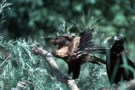 Wedge-tailed Eagles, one with wings outstretched