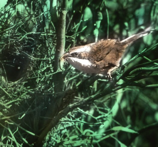 White-browed Babbler at nest