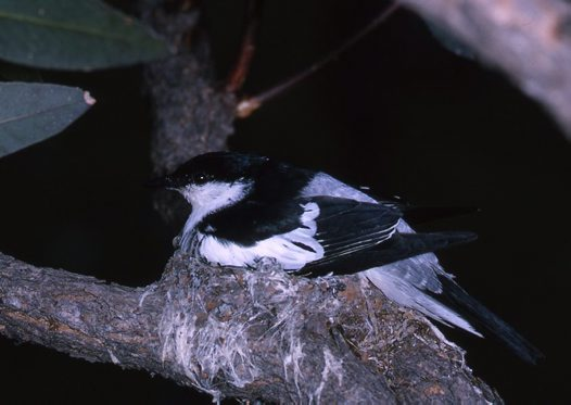 White-winged Triller, male