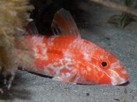 Bluespotted Goatfish, Upeneichthys vlamingii