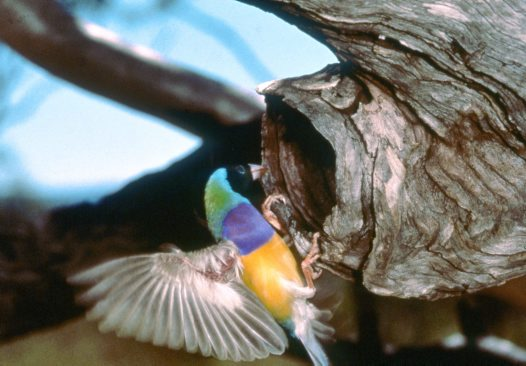 Gouldian Finch at nest hole