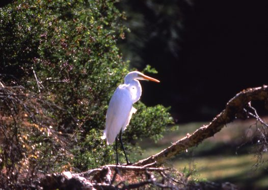 Great Egret on log