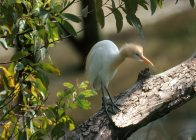 Cattle Egret on log