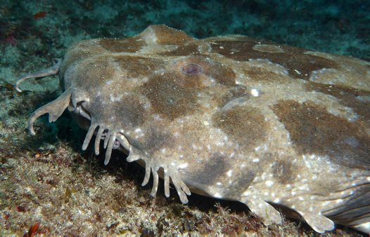 Spotted Wobbegong at Brush Island