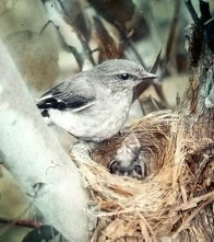 Hooded Robin, female, at nest