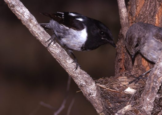 Hooded Robins at nest