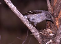 Hooded Robin, female, at nest in tree fork
