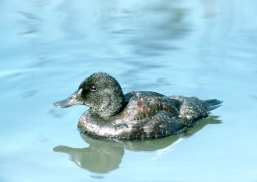 Blue-billed Duck