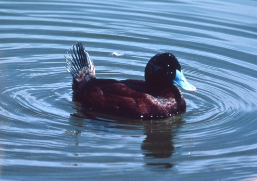 Blue-billed Duck, tail up
