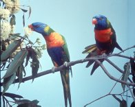 Rainbow Lorikeets, feeding