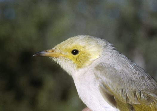 Close up of White-plumed Honeyeater