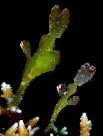 Robust Ghostpipefish at Manado