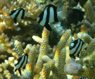 Banded Humbugs at Lady Elliot Island