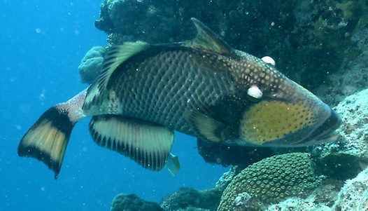 Titan Triggerfish at Ribbon Reef