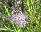 Melaleuca and flower wasps