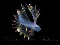Larval Spiderfish, Bathypterois sp