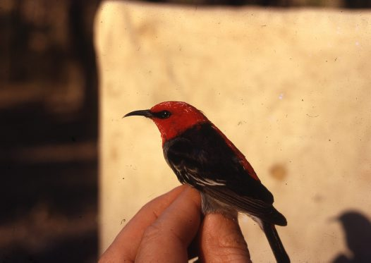 Scarlet Honeyeater in the hand