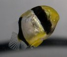 Larval Chevroned Butterflyfish