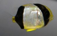 Larval Chevroned Butterflyfish, Chaetodon trifascialis