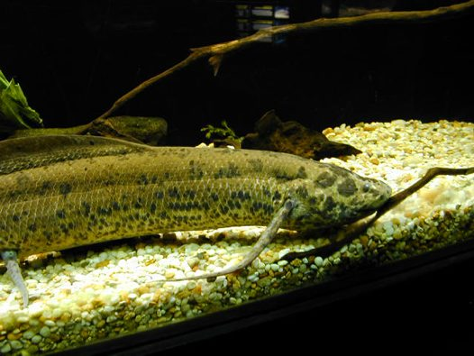 An African Lungfish in the U.S. National Aquarium
