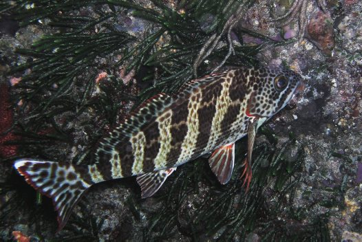 Redlip Morwong at Cape Naturaliste