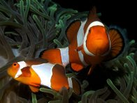 Western Clown Anemonefish at Bunaken Island