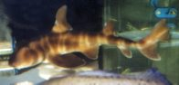 Japanese Bullhead Shark in an aquarium