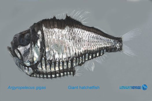 Giant Hatchetfish, Argyropelecus gigas