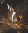 Barrier Reef Anemonefish at Great Detached Reef