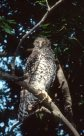 Powerful Owl on branch