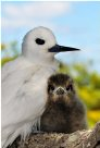 White Tern and her chick, Lord Howe Island 2009