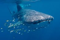 Whale Shark at Ningaloo Reef