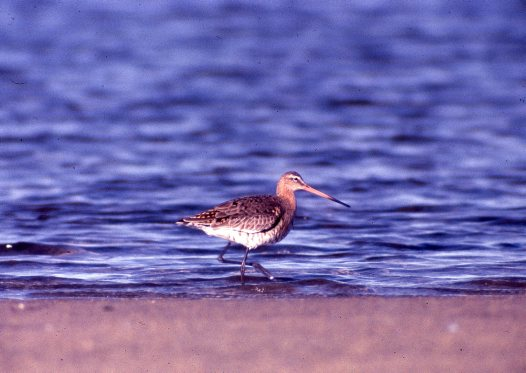 Black-tailed Godwit, wading