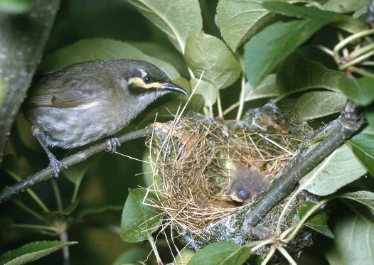 Yellow-faced Honeyeater at nest