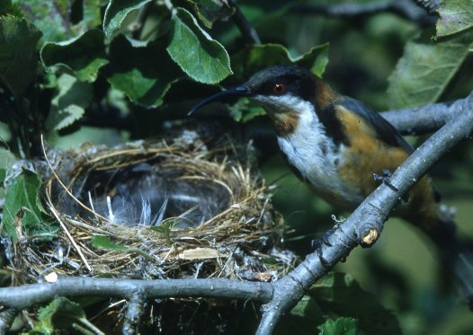 Eastern Spinebill at nest