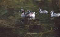 Australasian Grebe, with chicks