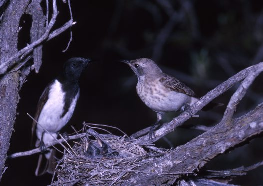 Black Honeyeaters, pair