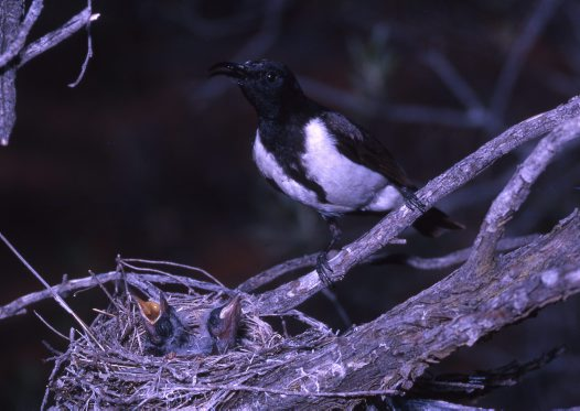 Black Honeyeater, male