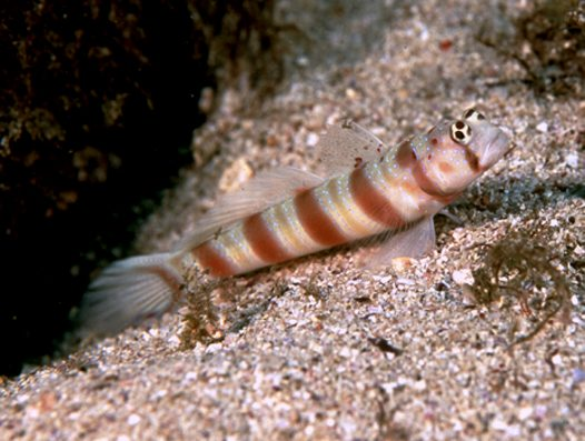 An Antitropical Shrimpgoby at North Solitary Island