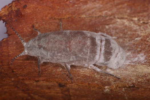 Female scale insect