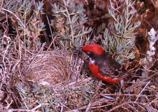 Crimson Chat in nest