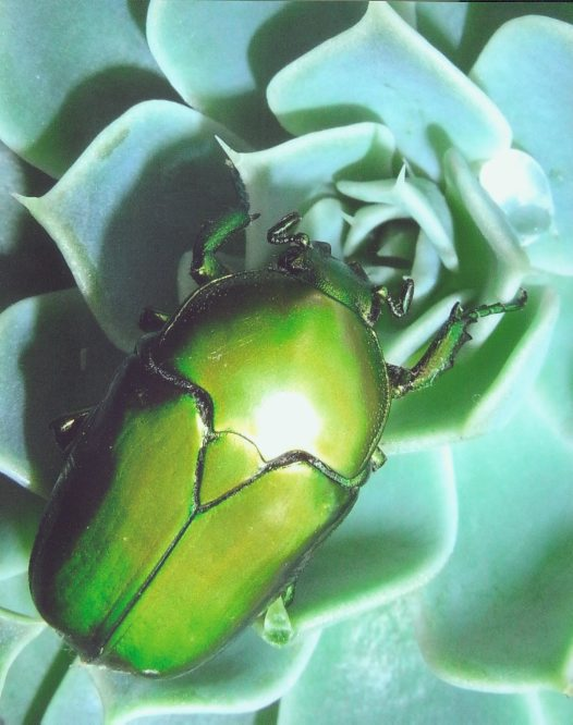 Beautiful Scarab - Michael Richardson