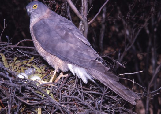 Collared Sparrowhawk