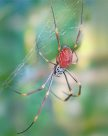 Golden Orb Spider - Tanja Bright